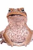 белизна жабы предпосылки изолированная тросточкой стоковое фото