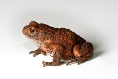 белизна жабы предпосылки Стоковое Фото