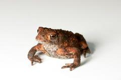 белизна жабы предпосылки Стоковая Фотография RF