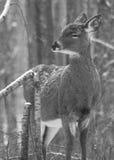 белизна замкнутая оленями Стоковое Фото