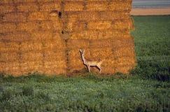 белизна замкнутая оленями Стоковое Изображение