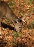 белизна замкнутая самецом оленя Стоковая Фотография RF