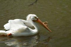 белизна заплывания пеликана Стоковая Фотография RF