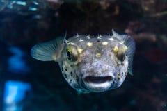 Белизна запятнала underwater hispidus Arothron рыб скалозуба в Красном Море стоковое изображение