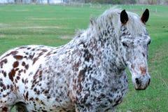 белизна запятнанная лошадью Стоковое Изображение RF