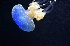 белизна запятнанная медузами Стоковые Изображения RF