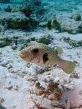 белизна запятнанная pufferfish Стоковая Фотография