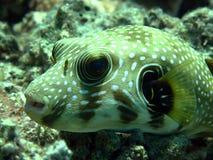 белизна запятнанная pufferfish Стоковые Фото