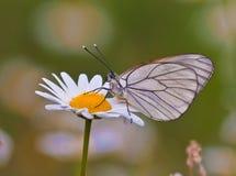 белизна зеленого цвета поля маргаритки бабочки Стоковое фото RF