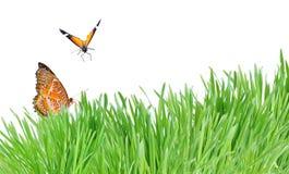 белизна зеленого цвета травы бабочек изолированная Стоковое Фото