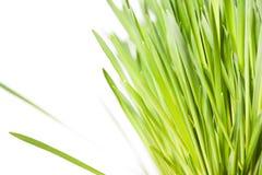 белизна зеленого цвета травы Стоковая Фотография