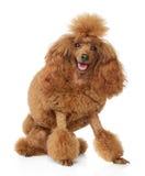 белизна игрушки щенка пуделя предпосылки красная Стоковое Изображение