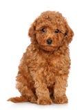 белизна игрушки щенка пуделя предпосылки Стоковые Фотографии RF