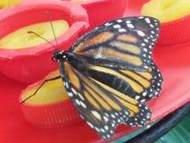 белизна изолированная бабочкой multicolor стоковая фотография