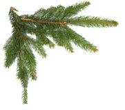 белизна изолированная ветвями елевая Стоковые Изображения RF