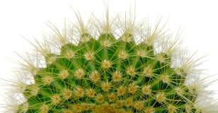 белизна изолированная кактусом Стоковые Изображения RF