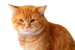 белизна изолированная котом красная Стоковые Изображения