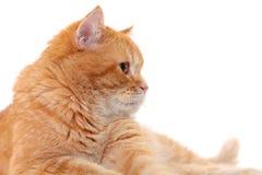 белизна изолированная котом стоковое изображение rf