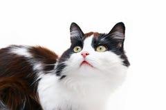 белизна изолированная котом Стоковые Изображения