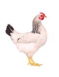 белизна изолированная курицей стоковое фото