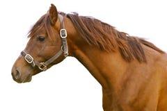 белизна изолированная лошадью Стоковое Изображение RF