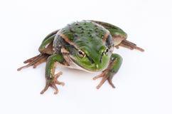 белизна изолированная лягушкой Стоковое Изображение