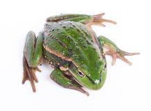 белизна изолированная лягушкой Стоковая Фотография RF