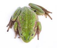 белизна изолированная лягушкой Стоковые Изображения RF