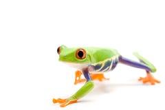 белизна изолированная лягушкой Стоковая Фотография