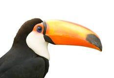 белизна изолированная предпосылкой toucan Стоковое фото RF