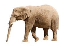 белизна изолированная слоном Стоковая Фотография