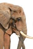 белизна изолированная слоном Стоковое Изображение
