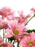 белизна изолированная хризантемой розовая Стоковое Изображение