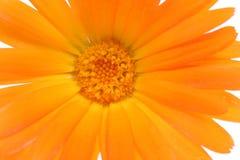белизна изолированная цветком померанцовая стоковое изображение