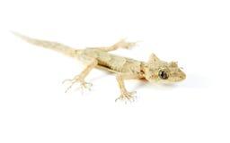 белизна изолированная gecko Стоковые Изображения RF