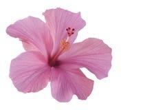 белизна изолированная hibiscus розовая Стоковая Фотография RF