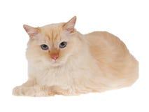 белизна изолированного пункта кота красная стоковое фото
