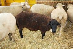 Белизна и овцы кабанины есть на ферме стоковые фотографии rf