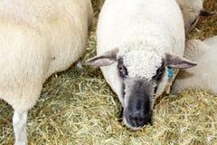 Белизна и овцы кабанины есть на ферме стоковые фото