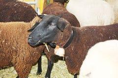 Белизна и овцы кабанины есть на ферме стоковая фотография rf