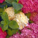 Белизна и фиолет покрасили естественные букеты цветков Hortensia в саде стоковые изображения