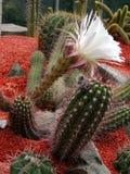 белизна кактуса Стоковые Изображения