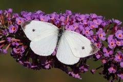 белизна капусты бабочки Стоковая Фотография RF