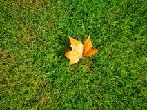 белизна клена листьев осени изолированная предпосылкой Стоковая Фотография RF
