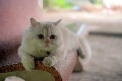 Белизна конец персиянки кота вверх по портрету стоковые изображения