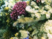 белизна коралла запятнанная скалозубом Стоковое фото RF