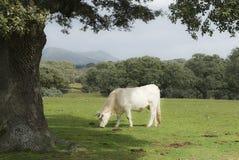 белизна коровы наградная Стоковое фото RF