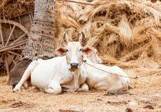 белизна коровы стоковое изображение