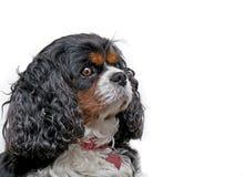 белизна короля собаки charles предпосылки кавалерийская Стоковые Изображения