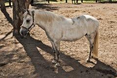 белизна костюма лошади Стоковая Фотография RF